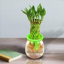 Auspicious Lucky Bamboo Wheel: Plants