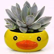Pachyphytum Draco Potted Plant: Plants