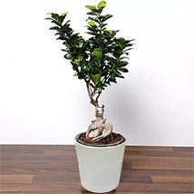 Ficus Bonsai Plant In Ceramic Pot: Plants